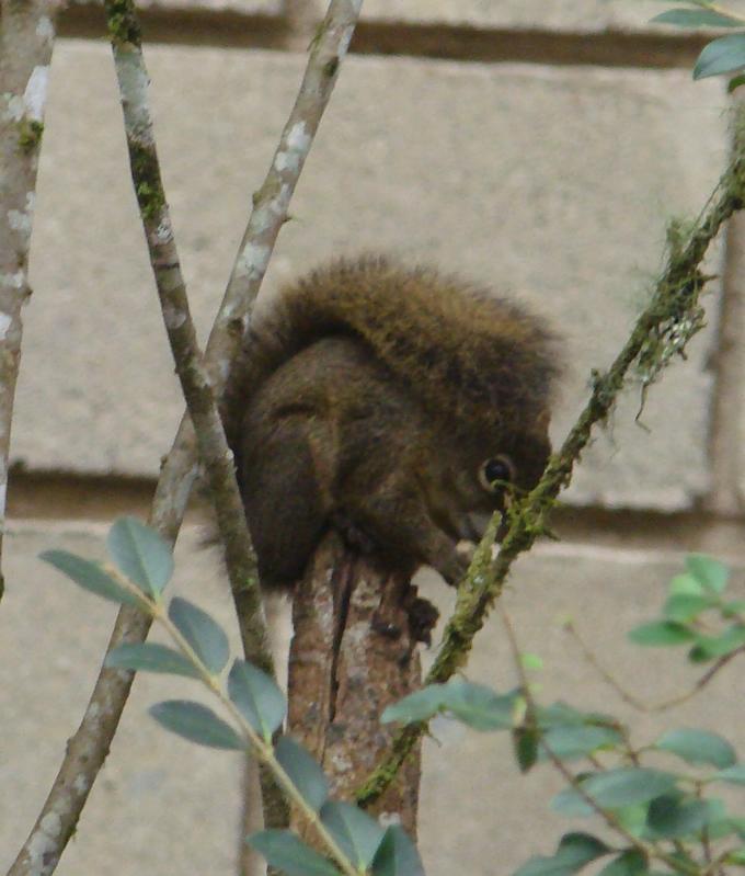 Esquilo em Monte Verde