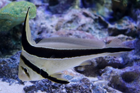 Jackknife Fish