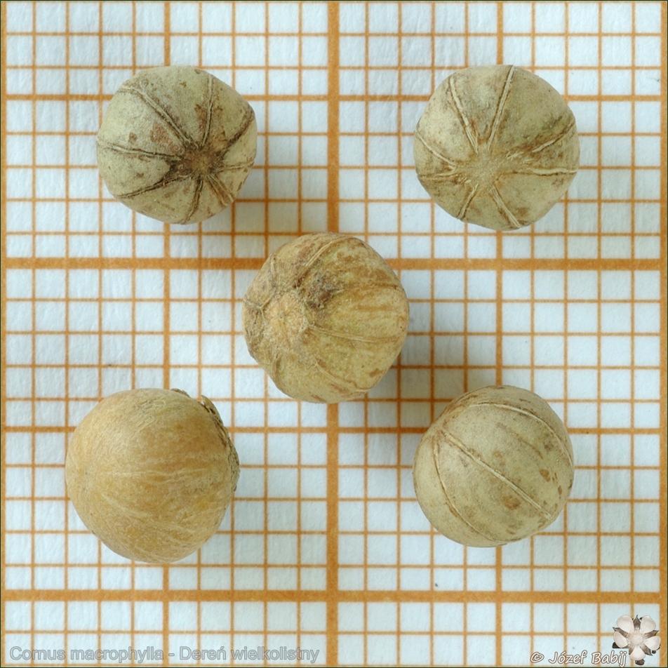 Cornus macrophylla seeds - Dereń wielkolistny nasiona
