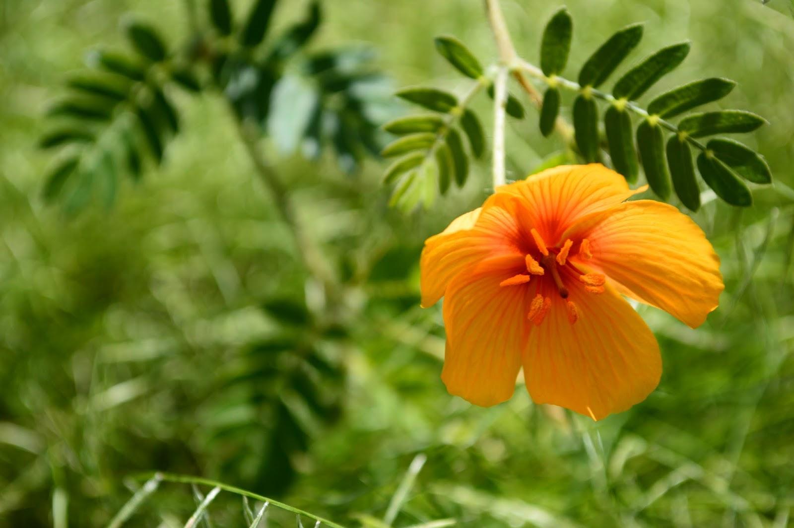 A Small Sunny Garden Desert Poppies Flowers Of Sunshine And Rain