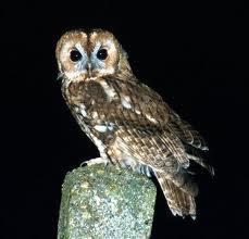 tawny_owl