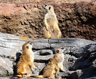 http://bwanablog.blogspot.com/search/label/meerkat