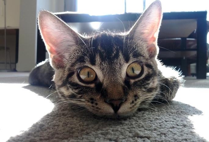 Кот чешет уши чем лечить