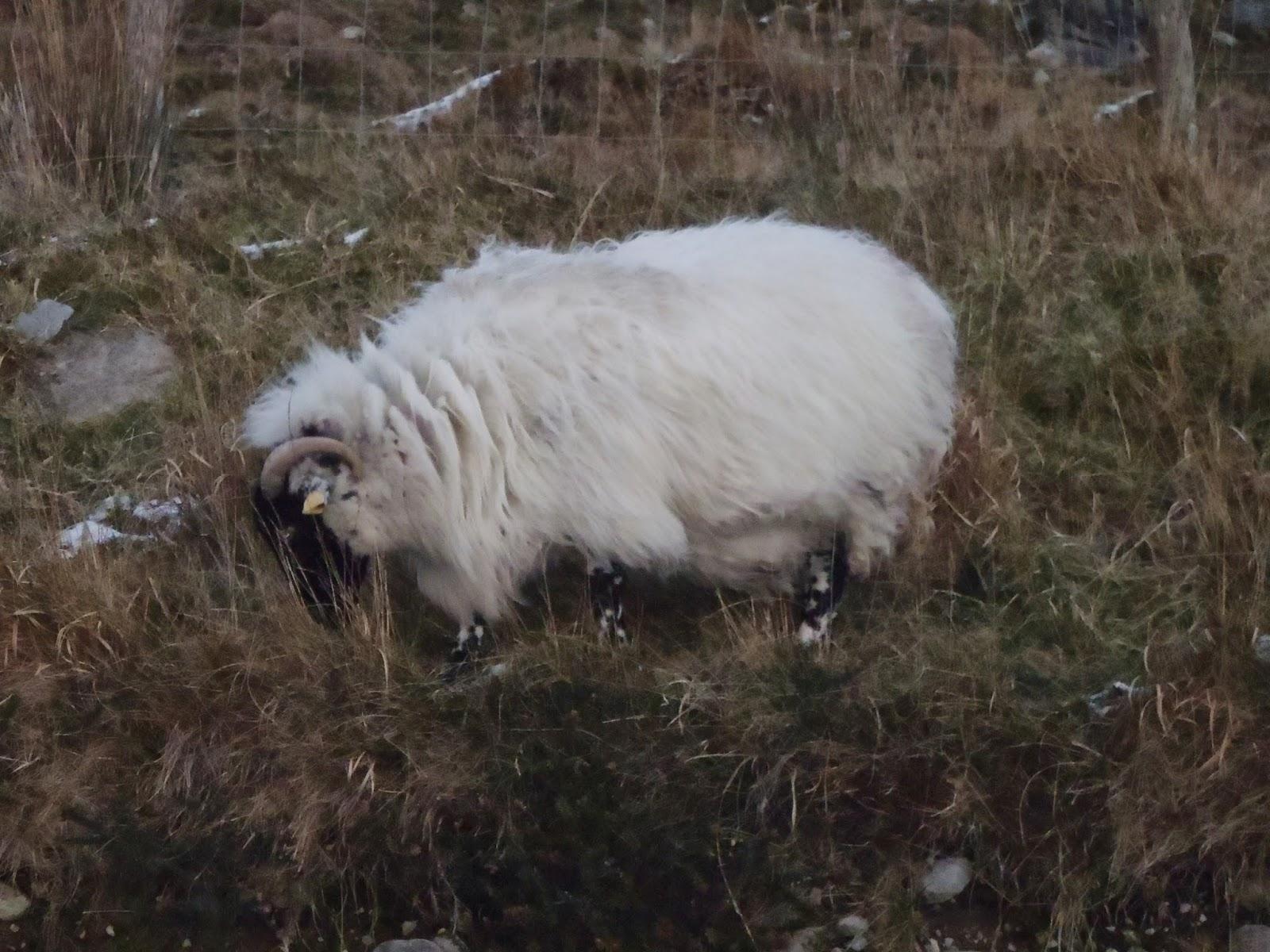 ring of kerry sheep ireland