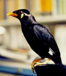 Burung Beo Terbaik