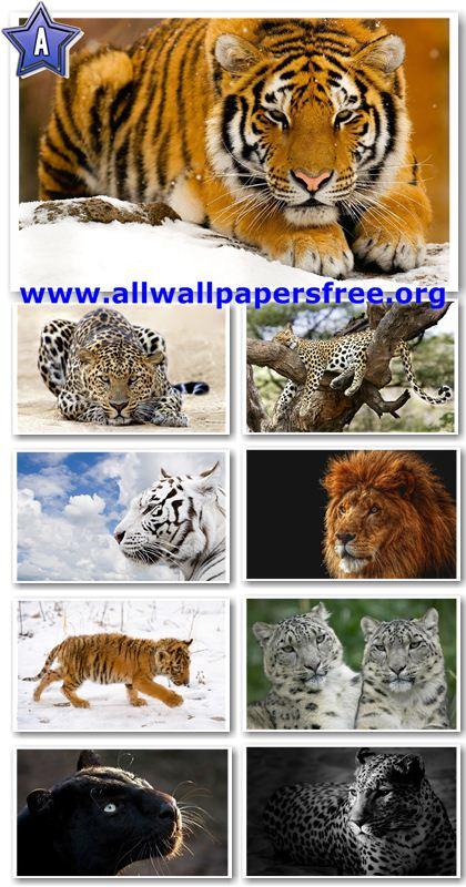 50 Beautiful Big Cats Widescreen Wallpapers 1920 X 1200