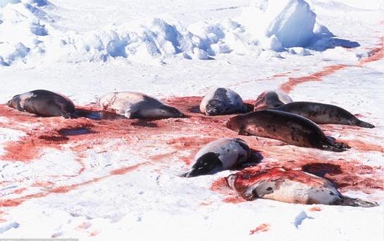 Gambar pemburuan anjing laut