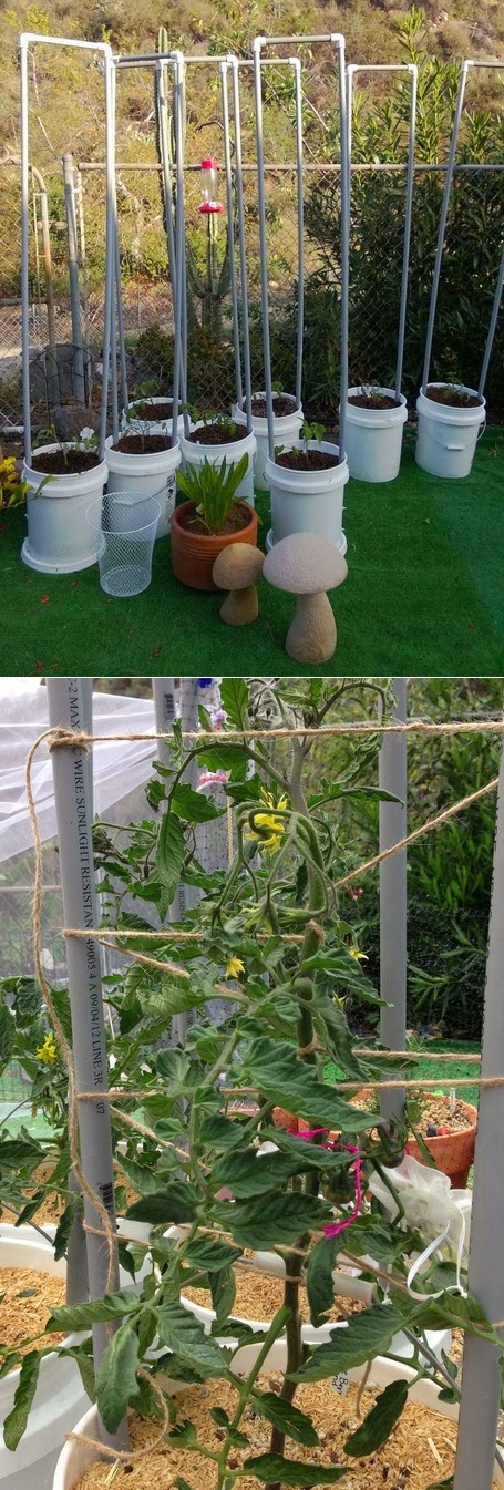 growing tomatoes in containers. Black Bedroom Furniture Sets. Home Design Ideas