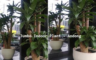 tanaman penghias pintu gerbang