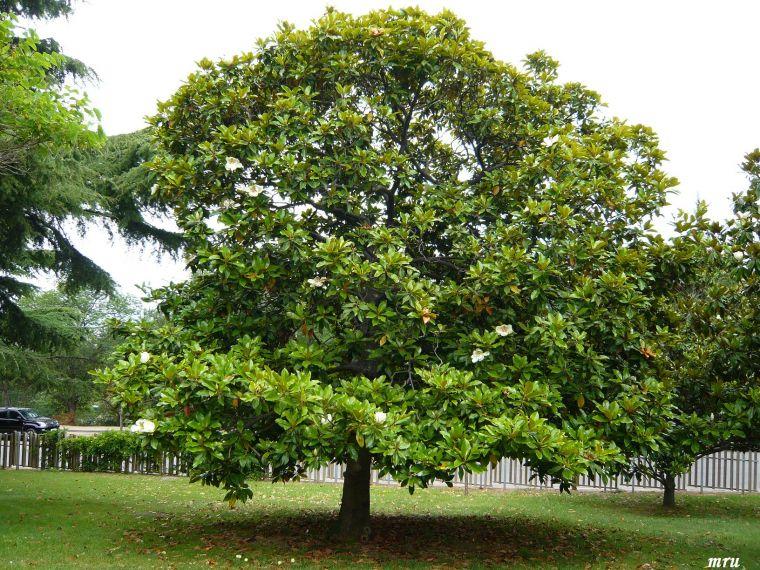 Acerca del magnolio for Ver fotos de arboles de hoja perenne