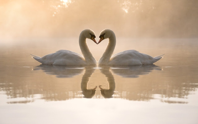 Best Jungle Life swans wallpaper, swans in love, swans heart