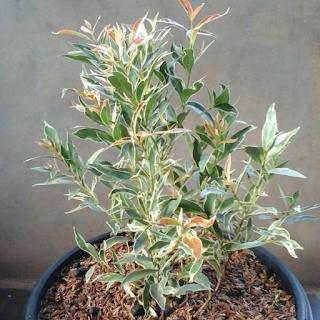 pohon pucuk merah varigata