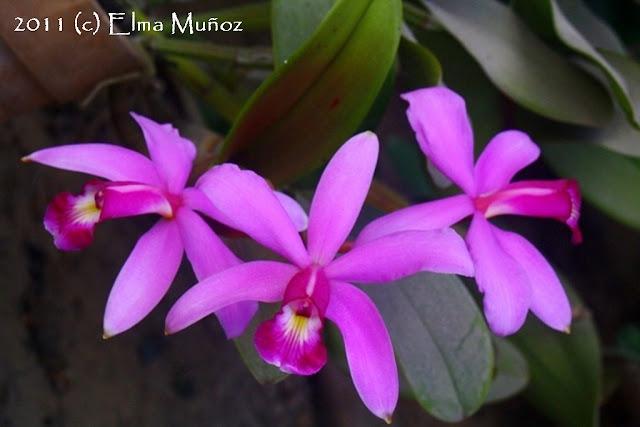 Cattleya violacea