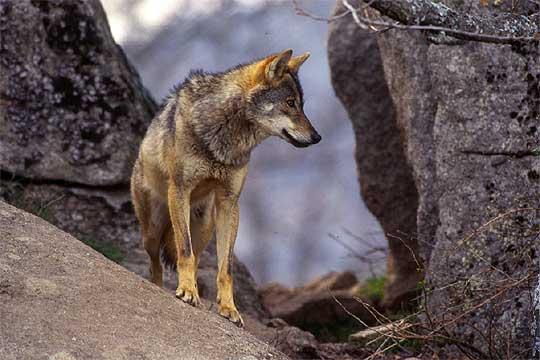 CACHORROS Y ANIMALES Lobo