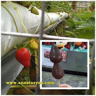 Strawberry Chocolate Cameron Highlands
