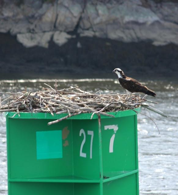 Osprey nest on channel marker