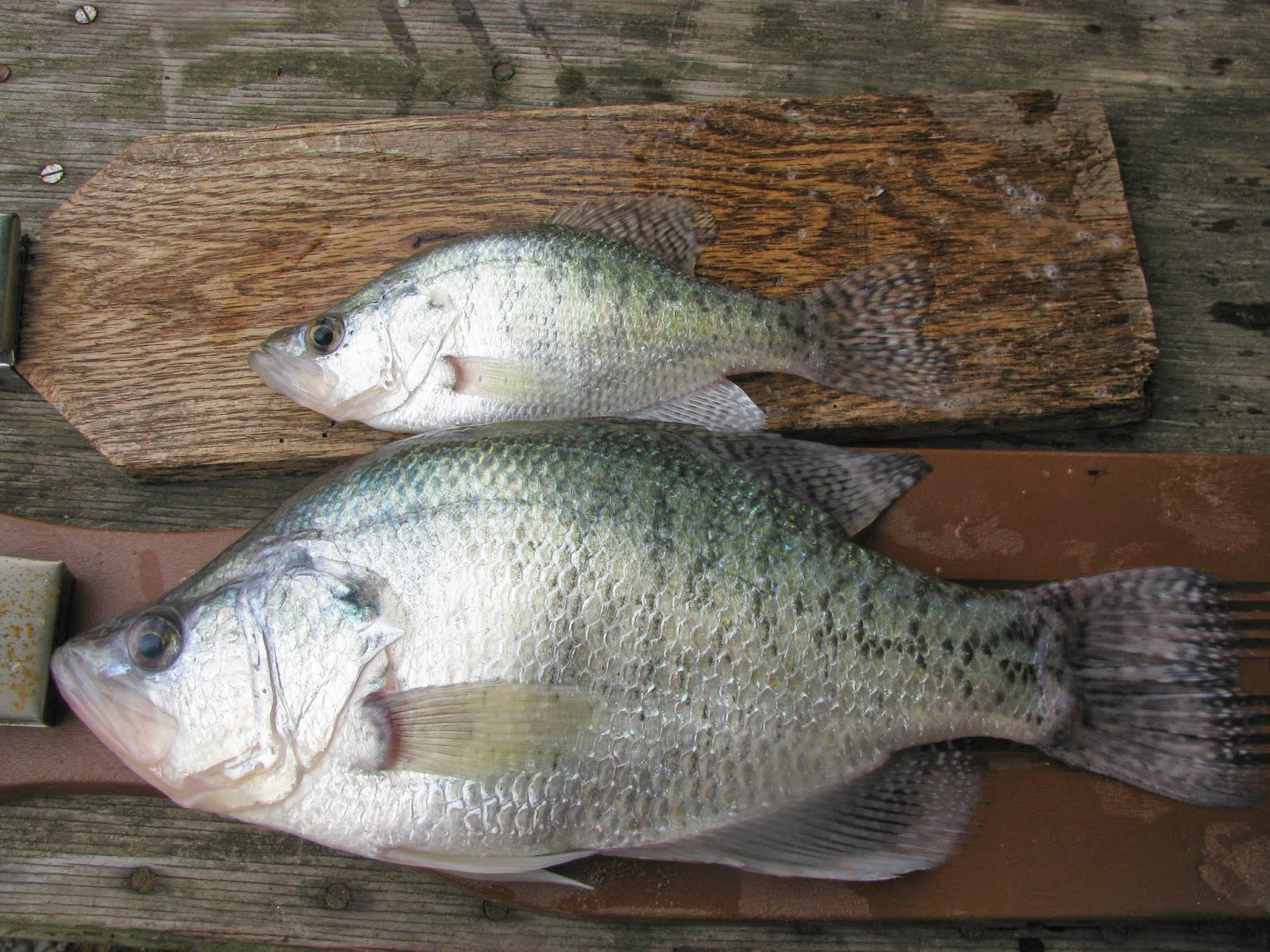 River rat diary lake monroe crappie 2lb vs average for Indiana crappie fishing