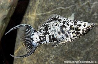 Ikan Marmer Lyretail Molly