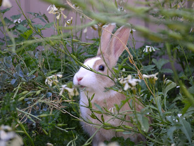 Max, a tricolour Dutch bunny (black, white and orange) munching rocket stems in the garden. He is sitting in a thicket of rocket and broccoli.