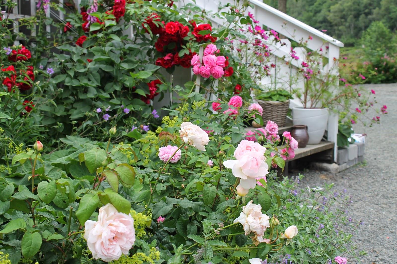 hvite rose oppsatser