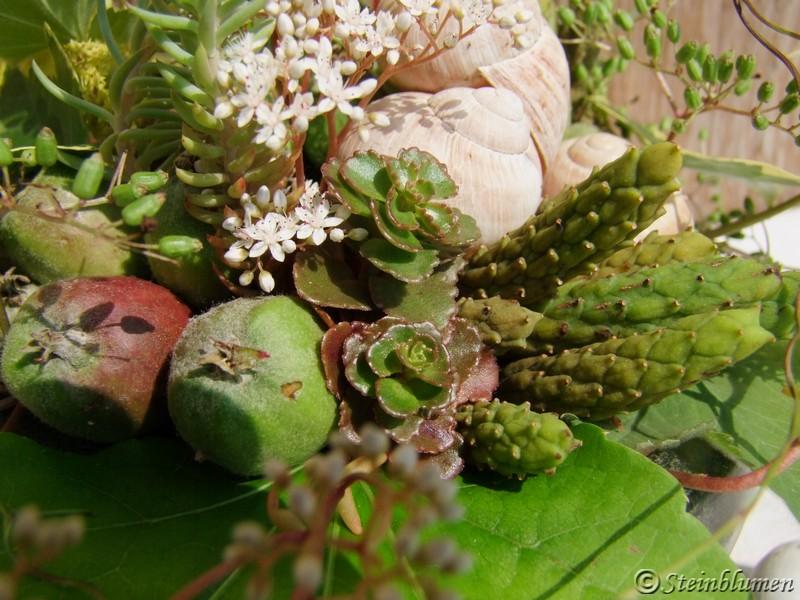 Samen der Magnolie