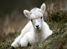 gambar anak kambing