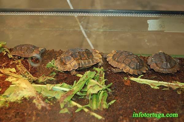Juveniles de Kinixys homeana