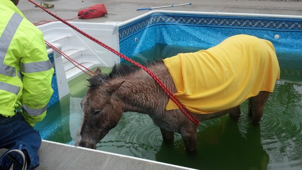 White wolf blind horse rescued from swimming pool for Negative show pool horse racing