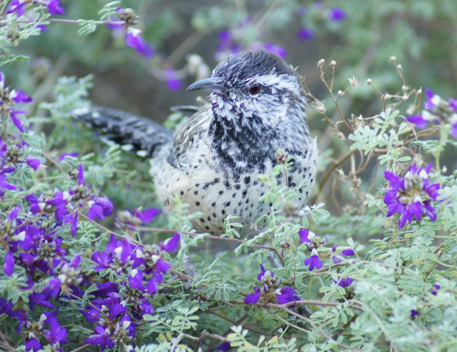 mojave cactus bird water