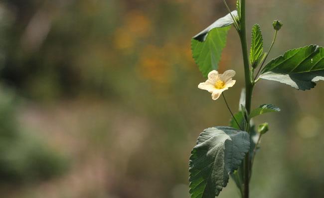 Sida Rhombifolia Flowers