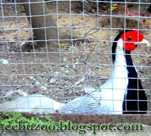 Cebu Zoo Sliver Pheasant
