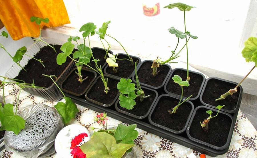 Выращивание калачика 62