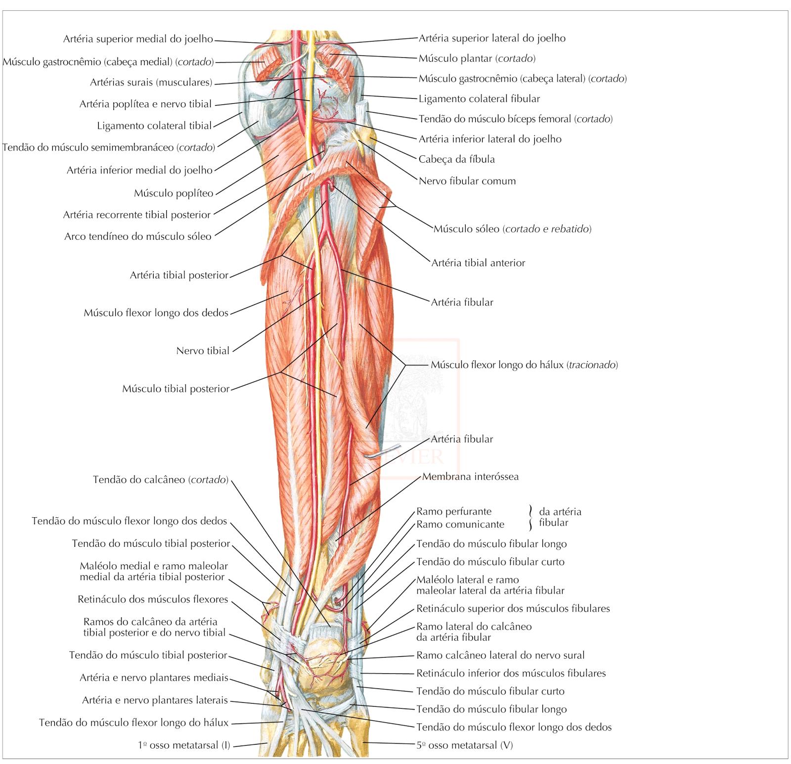 Excelente Anatomía De La Arteria Sural Ideas - Anatomía de Las ...