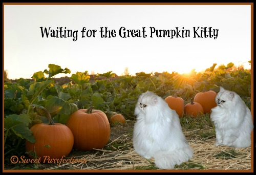 Truffle and Brulee waiting for the Great Pumpkin Kitty
