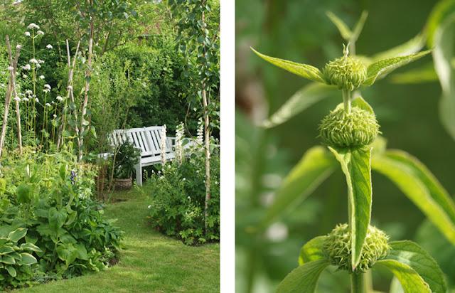 løvehave, Phlomis russeliana en grafisk staude til haven