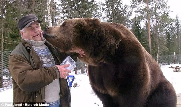 Bear Man Of Finland Has An Unbreakable Bond With Brown Bears (VIDEO)