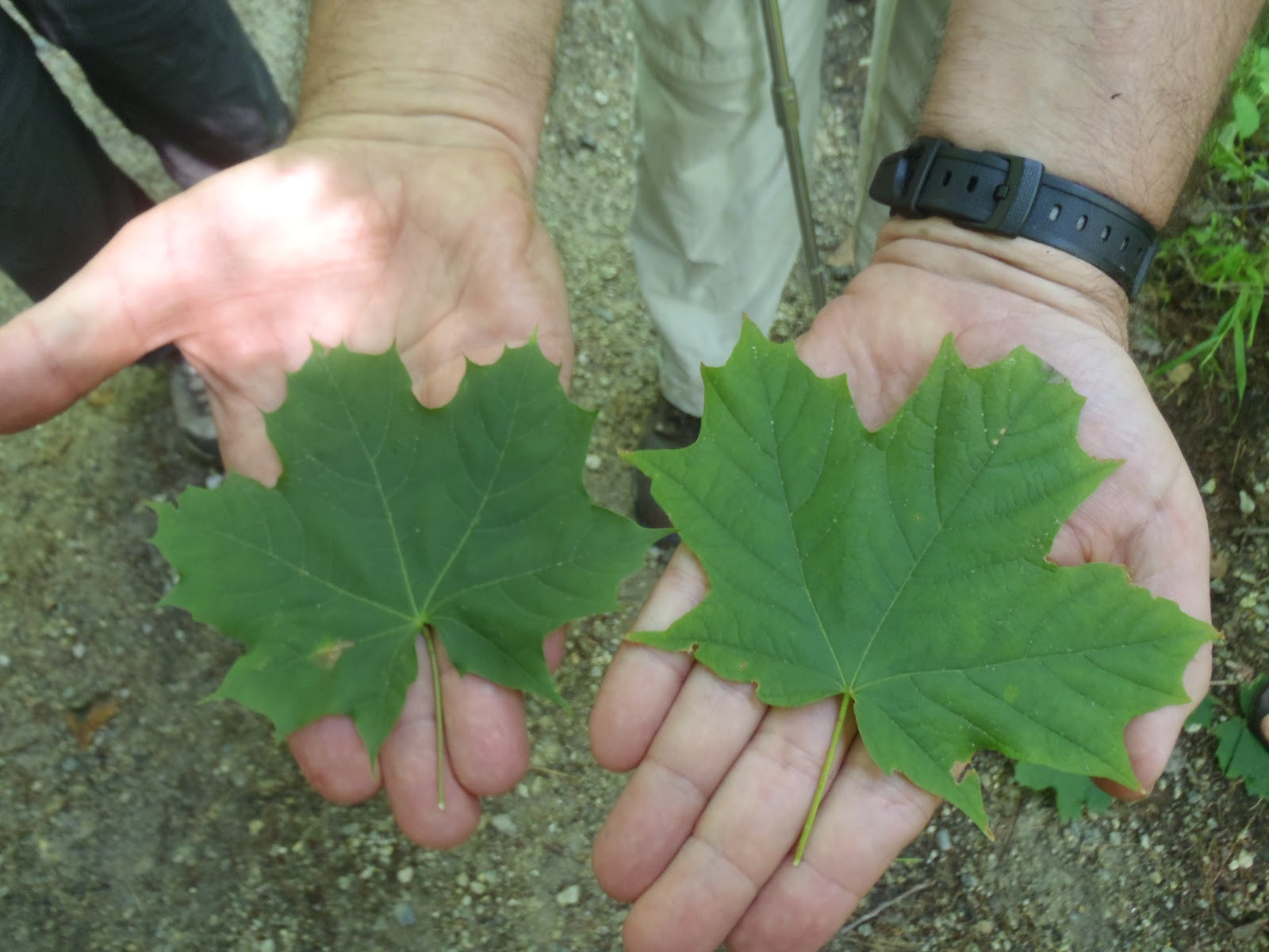 Marys UNH Summer Institute In Environmental Education Blog - Norway maple vs sugar maple