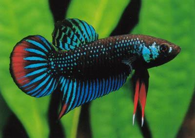 Peaceful betta betta imbellis nice betta for Wild betta fish