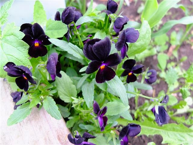 Violas in the vegetable patch