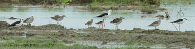 Black-winged Stilt (Himantopus himantopus) and Ruff (Philomachus pugnax)