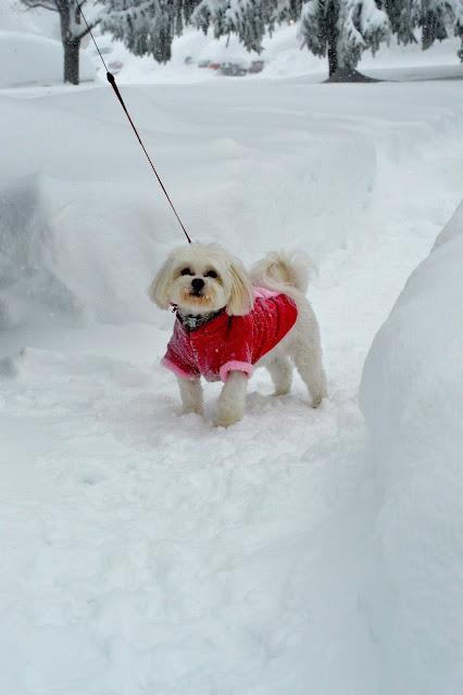 morkie-puppy-snow