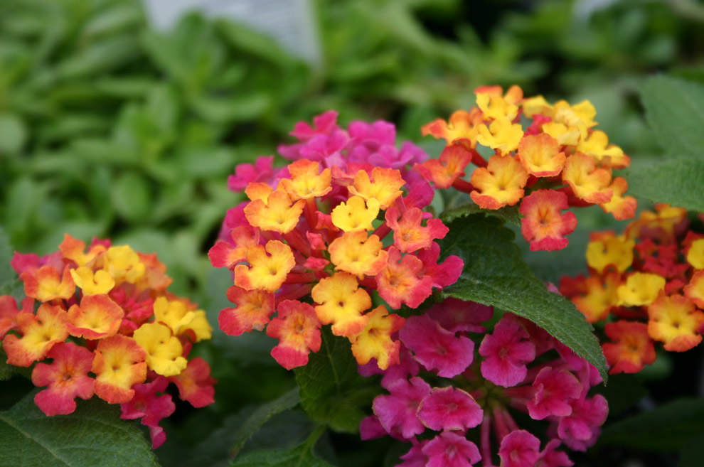 Flowers world lantana heads are clusters of tiny flowers in shades flowers world mightylinksfo