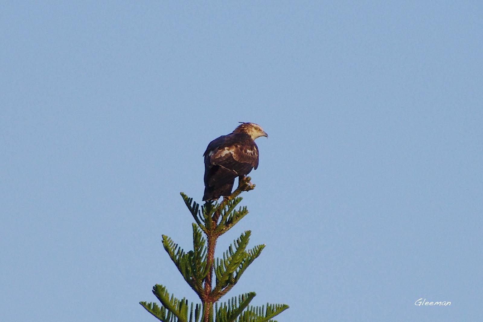 雞南山路過的東方蜂鷹。