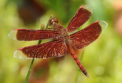 Common Parasol (Neurothemis fluctuans)