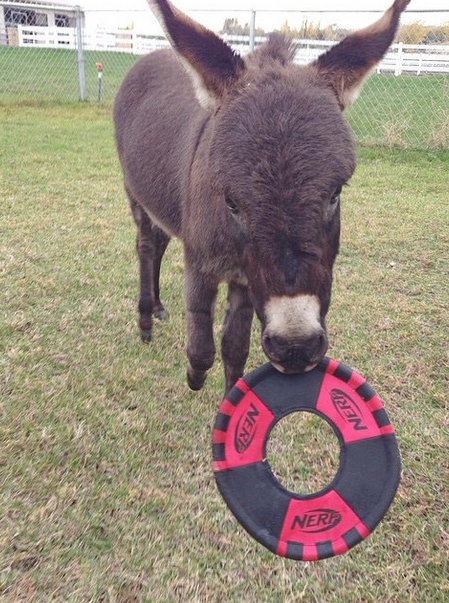 Donkey playing frisbee