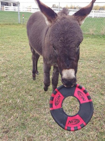 Donkey playing frisbee