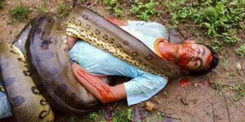 homem é encontrado morto com sucuri enrolada em seu corpo no Maranhão