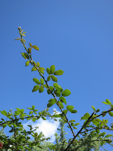 New strand of bramble (blackberry bush) against a blue sky with white cloud