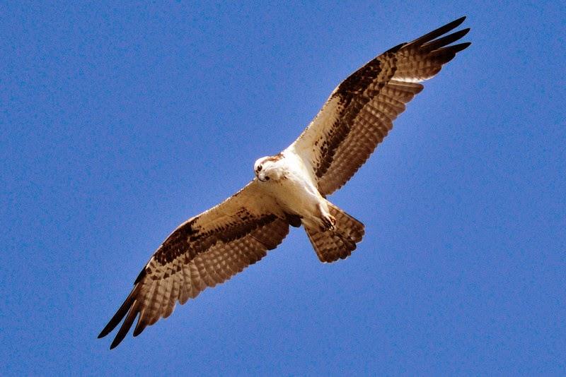 Águila Pescadora Planeando