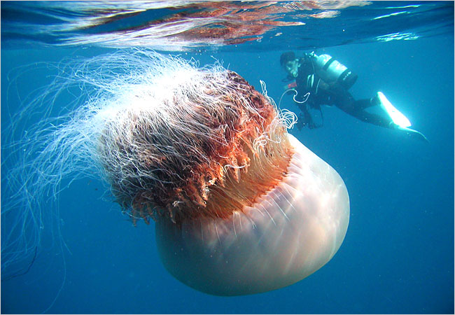 25 Amazing Jellyfish Facts for Kids and Grown Ups | All Five Oceans